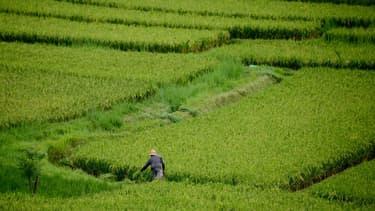 Une rizière près d'Ubud à Bali.