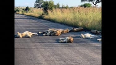 Afrique du Sud: ces lions profitent de l'absence des touristes pour faire la sieste sur la route