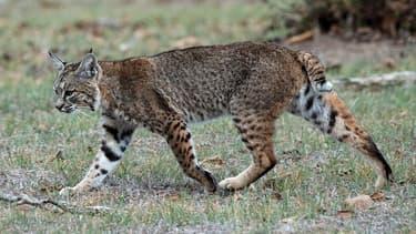 Un lynx. (photo d'illustration)