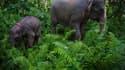 Une éléphante de Sumatra et son petit, le 30 mai 2013, à Aceh en Indonésie.