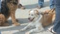 Des chiens tenus en laisse (Photo d'illustration)
