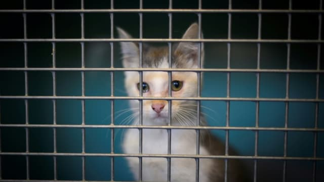 Un chat abandonné, en cage, dans un refuge de la SPA en août 2019 à Gennevilliers, près de Paris (photo d'illustration)