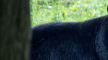 Un ours noir du parc animalier de Thoiry. (Photo d'illustration)