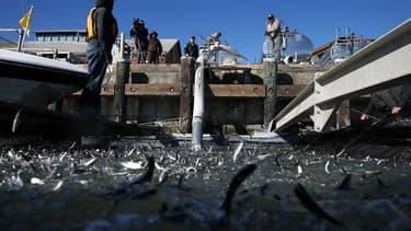 De jeunes saumons sont déchargés d'un camion dans le détroit de Mare Island