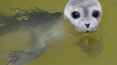 Un petit phoque polaire a parcouru en une vingtaine de jours plus de 2.000 km.