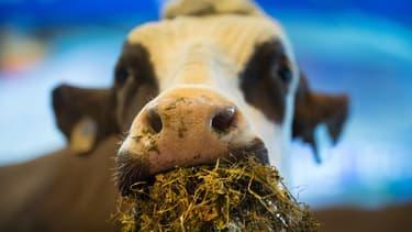 Une vache lors du salon de l'Agriculture (PHOTO D'ILLUSTRATION).