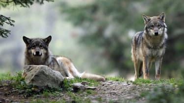 Photo de loups prise le 17 octobre 2006 à Saint-Martin-Vésubie (image d'illustration)