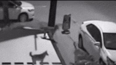 Les chiens s'attaquant au pare-chocs avant du véhicule
