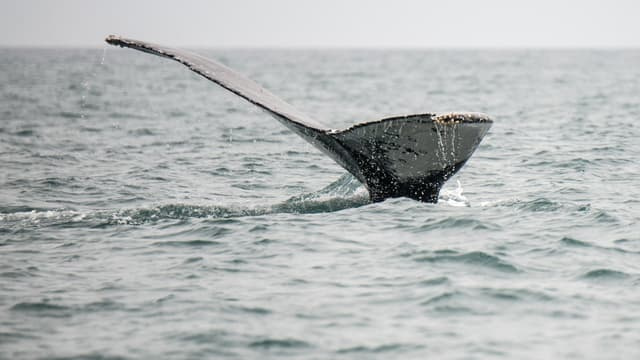 Une baleine observée au large du Pérou, en 2016 (PHOTO D'ILLUSTRATION)