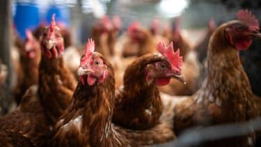 Les agents de la Sanef ont été obligés de rattraper les poulets en fuite sur l'autoroute.