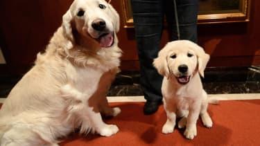 Deux golden retrievers, le 31 janvier 2014 à New York. (Photo d'illustration)