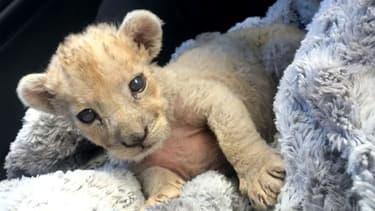 Cersei, jeune lionne maintenant dans un sanctuaire en Afrique du Sud, a été découverte par les douanes françaises dans un garage à Marseille en octobre 2018