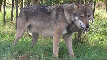 Environ 300 loups se trouveraient actuellement en France.