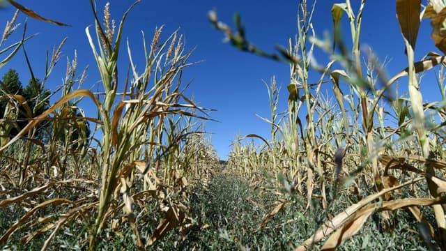 Des plants de maïs souffrent de la sécheresse le 5 août 2020.