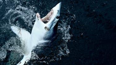 Photo d'un requin-taupe bleu tout juste pêché au Massachusetts, Etats-Unis, le 15 juillet 2017.