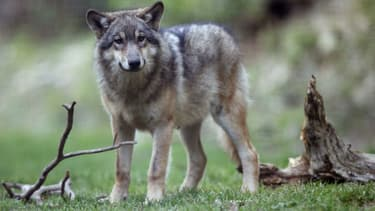 Un loup - Image d'illustration
