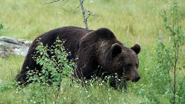 Photo d'illustration d'un ours brun