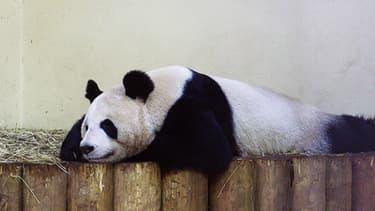 La femelle Tian Tian au zoo d'Edimbourg.