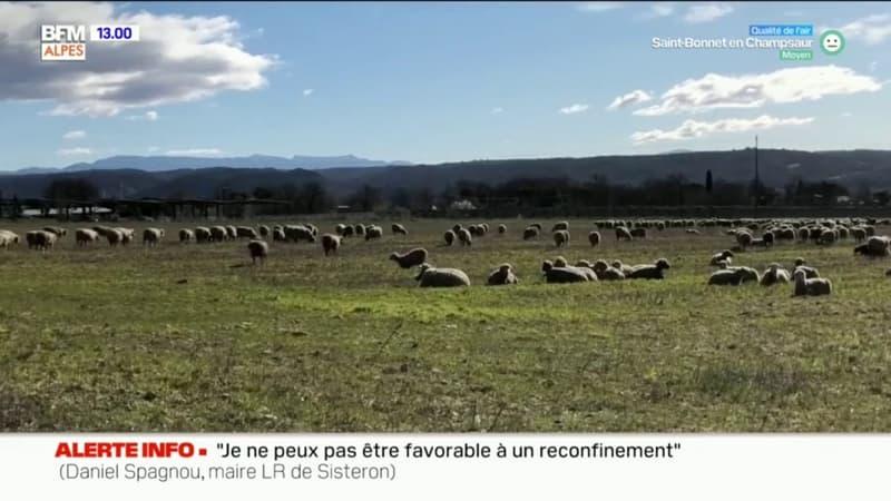 L'image du jour sur BFM DICI: un troupeau de brebis en liberté à Manosque
