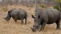 Le parc de Kruger, en Afrique du Sud est la plus grande réserve de rhinocérosau monde.