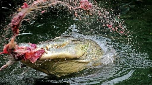 Un crocodile photographié le 29 mars 2010 à Sydney mangeant un poulet