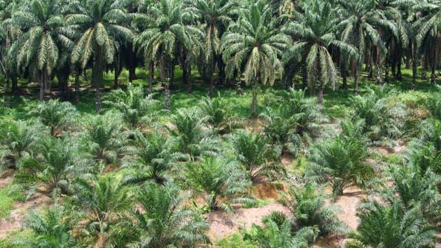 L'huile de palme ne serait pas mauvaise pour la santé