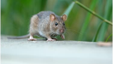 Certains rats sont plus résistants que d'autres aux anticoagulants.