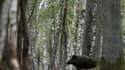 Sanglier dans la forêt de Rambouillet près de Paris en France le 12 septembre 2015.