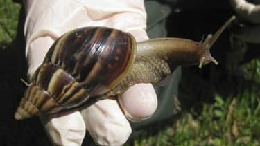 La Floride a déclaré la guerre à l'une des espèces animales les plus destructrices au monde: l'escargot géant d'Afrique, un mollusque particulièrement vorace pouvant atteindre la taille d'un rat. /Photo d'archives/REUTERS/Florida Department of Agriculture