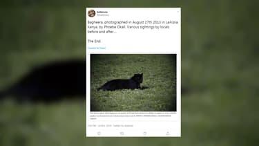 """Un léopard noir photographié par Phoebe Okall en 2013, avant les clichés présentés comme """"inédits"""" par un photographe britannique en 2019."""