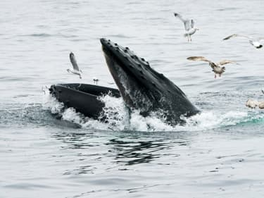 Une baleine à bosse, dans le Massachusetts, le 10 mai 2018
