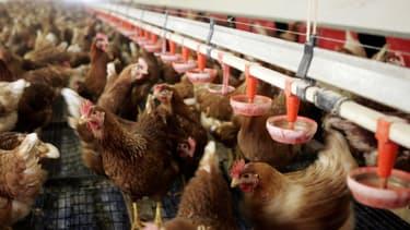 """Une souche """"hautement pathogène"""" de la grippe aviaire a été détectée dans un élevage aux Pays-Bas (image d'illustration)."""