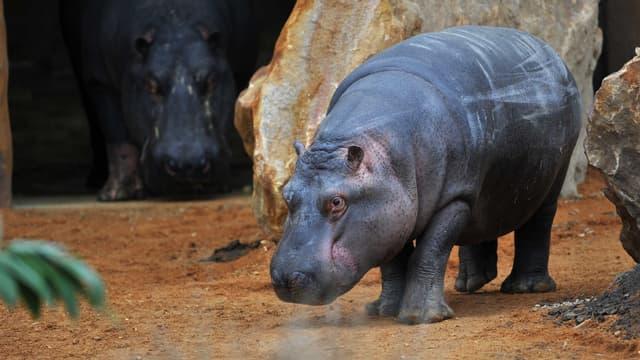 L'hippopotame Kvido explore son nouvel enclos au zoo de Beauval.