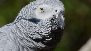 Un perroquet gris du Gabon - photo d'illustration
