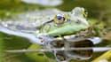 La grenouille, un mets finalement prisé par les Anglais il y a plusieurs milliers d'années