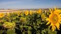 Un champs de tournesols dans la procinve de Burgos, en Espagne.
