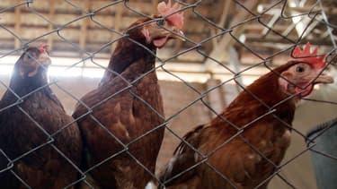 Des poulets (Photo d'illustration)