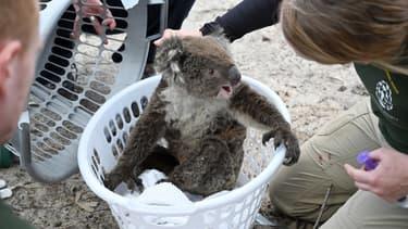 Koala blessé secouru en Australie, sur l'île Kangourou, après les incendies