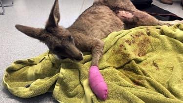 Épuisé par ses blessures, l'animal s'est effondré en plein milieu de la maison
