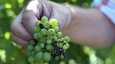 Frappé par le gel, le vignoble de Champagne est en retard d'une semaine par rapport à la moyenne sur dix ans.
