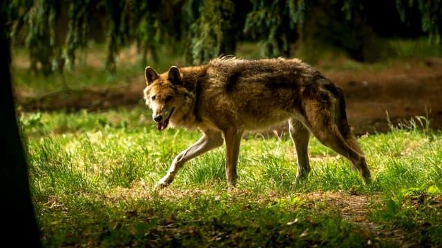 Un loup marche dans une forêt.