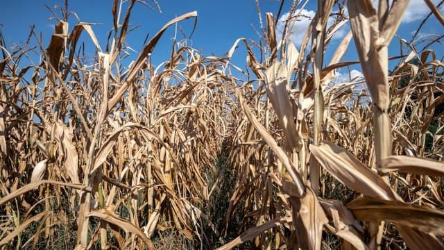 Image d'illustration - un champ de maïs desséché lors des grosses chaleurs d'août 2018
