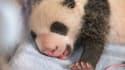 L'un des deux bébés panda, Petite Neige, âgée de un mois