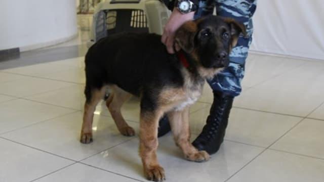 Le remplaçant de Diesel, chienne du RAID abattue lors de l'assaut donné contre les terroristes dans un appartement de Saint-Denis le 18 novembre dernier