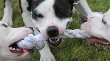 Pitbulls jouant avec une corde.