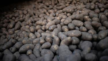450.000 tonnes de surplus de pommes de terre. La France est premier pays exportateur mondial de la tubercule et fournisseur des géants de la frite industrielle