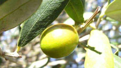 L'Espagne fournit plus de la moitié de l'huile d'olive mondiale.